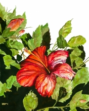 KarenAnn-Red-Hibiscus