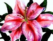 Star-Gazer-Lily